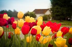 6208-Tulips19